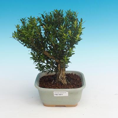Zimmer Bonsai - Buxus Harlandii - Kork Buxus - 1
