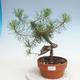 Bonsai im Freien - Pinus Sylvestris - Waldkiefer - 1/3