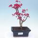 Outdoor Bonsai - Ahorn Palmatum DESHOJO - Ahorn Palme - 1/4