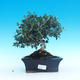 Innenbonsais - Olea europaea sylvestris - oliva europäisches kleines - 1/5