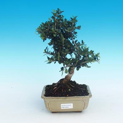 Innenbonsais - Olea europaea sylvestris - oliva europäisches kleines - 1