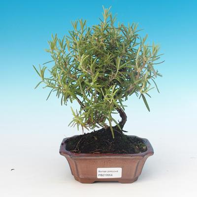 Zimmerbonsai - Rosmarin-Rosmarinus officinalis - 1