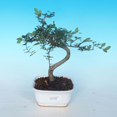 Indoor-Bonsai - Ulmus parvifolia - Kleine Ulme - 1