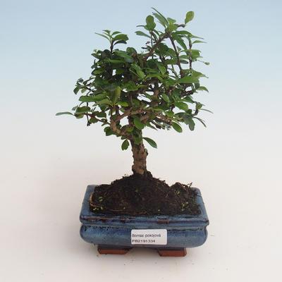 Innenbonsai - Carmona macrophylla - Tee fuki 412-PB2191334 - 1