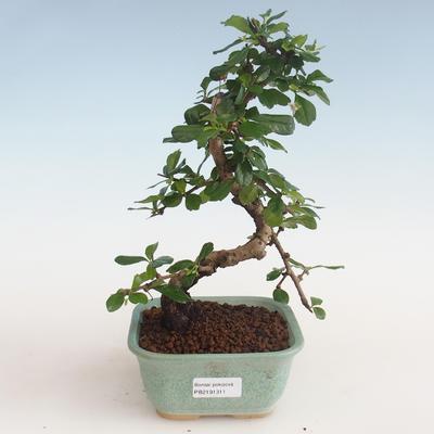 Innenbonsai - Carmona macrophylla - Tee fuki PB2191311 - 1