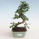 Innenbonsai - Carmona macrophylla - Tee fuki PB2191311 - 1/5