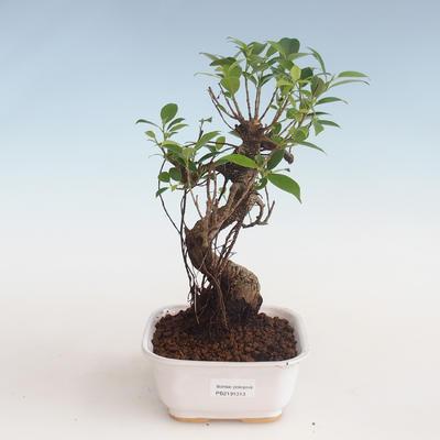 Indoor Bonsai - Ficus kimmen - kleiner Blattficus PB2191313