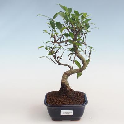 Indoor Bonsai - Ficus kimmen - kleiner Blattficus PB2191315