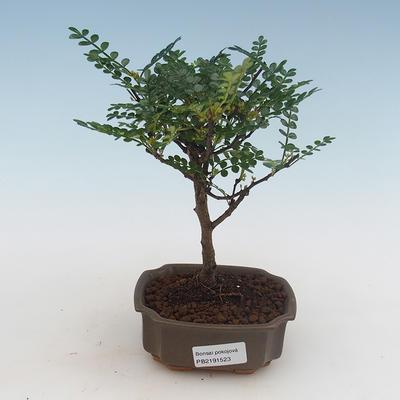 Indoor Bonsai - Ficus kimmen - kleiner Blattficus PB2191316
