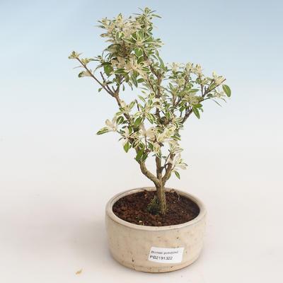 Innenbonsai - Serissa foetida Variegata - Baum von tausend Sternen PB2191322 - 1