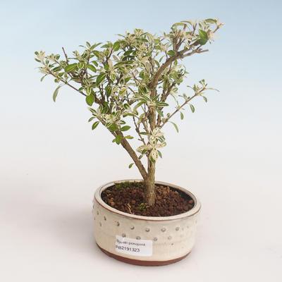 Innenbonsai - Serissa foetida Variegata - Baum von tausend Sternen PB2191323 - 1