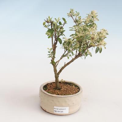 Indoor Bonsai - Serissa foetida Variegata - Baum der tausend Sterne PB2191325 - 1