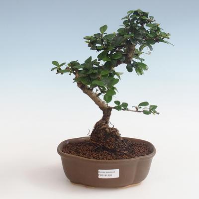 Innenbonsai - Carmona macrophylla - Tee fuki PB2191328 - 1