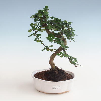 Innenbonsai - Carmona macrophylla - Tee fuki PB2191329 - 1