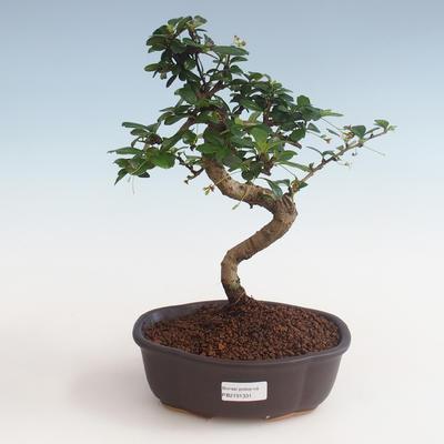 Innenbonsai - Carmona macrophylla - Tee fuki PB2191331 - 1