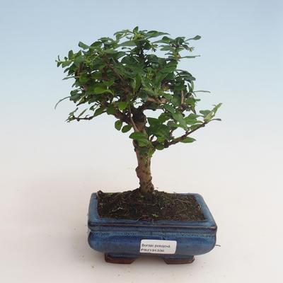 Innenbonsai - Carmona macrophylla - Tee fuki 412-PB2191336 - 1