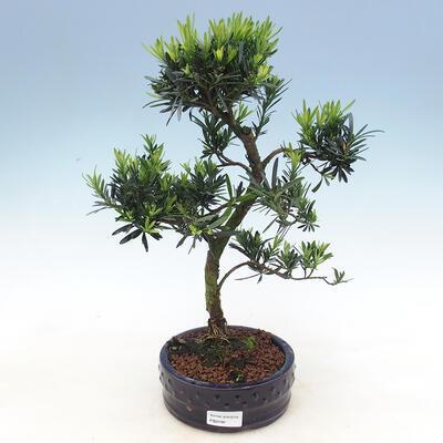 Zimmerbonsai - Podocarpus - Steintausend - 1