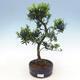Zimmerbonsai - Podocarpus - Steintausend - 1/4