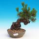 Pinus thunbergii - Kiefer thunbergova - 1/3