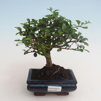 Innenbonsai - Carmona macrophylla - Tee fuki 412-PB2191333 - 1