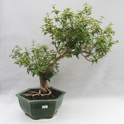 Indoor Bonsai - Australische Kirsche - Eugenia uniflora - 1