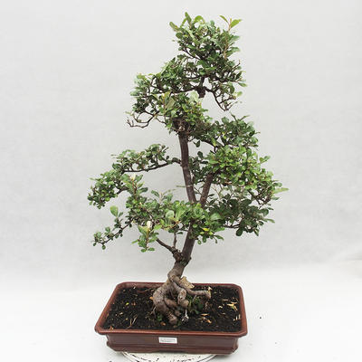 Indoor Bonsai -Eleagnus - Hlošina - 1