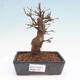Bonsai im Freien - Buergerianum Maple - Burger Maple - 1/5