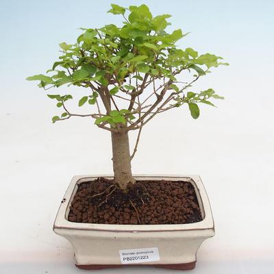 Indoor Bonsai -Ligustrum chinensis - Vogelschnabel PB2201223 - 1