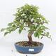 Outdoor-Bonsai -Malus Halliana - fruited Apfel - 1/6