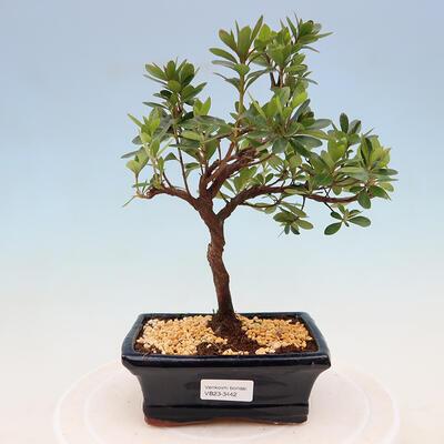 Outdoor-Bonsai -Malus Halliana - fruited Apfel - 1