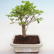 Indoor Bonsai -Ligustrum chinensis - Vogelschnabel PB2201223 - 1/3
