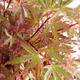 Outdoor bonsai - Acer palmatum Butterfly VB2020-697 - 1/3
