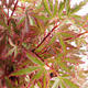 Outdoor bonsai - Acer palmatum Butterfly VB2020-696 - 1/3