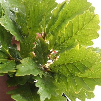 Bonsai-Quercus robur-Sommereiche im Freien - 1