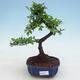 Indoor Bonsai - Ulmus parvifolia - Kleine Blattulme - 1/3