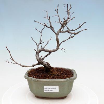 Zimmer Bonsai - Ficus kimmen - malolistý Ficus - 1