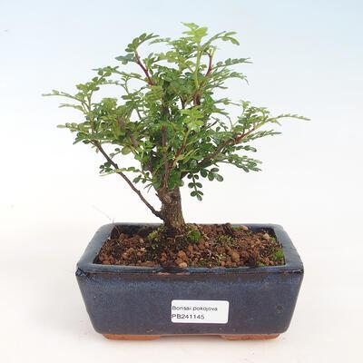 Zimmerbonsai - Zantoxylum piperitum - Pfefferkorn - 1
