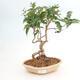 Zimmerbonsai - Buxus harlandii - Korkbuchsbaum - 1/4
