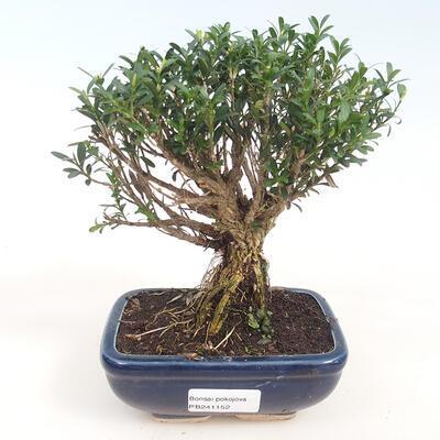 Zimmerbonsai - Buxus harlandii - Korkbuchsbaum - 1