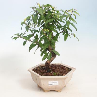 Zimmerbonsai-PUNICA granatum nana-Granatapfel - 1