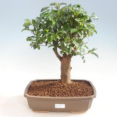 Indoor Bonsai - Australische Kirsche - Eugenia uniflora
