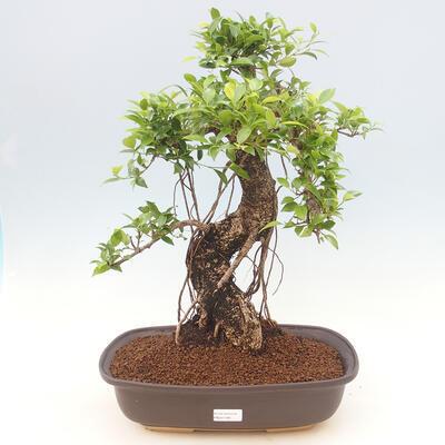Zimmerbonsai - Ficus kimmen - kleinblättriger Ficus - 1