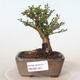 Outdoor-Bonsai - Ulmus parvifolia SAIGEN - Kleinblättrige Ulme - 1/4