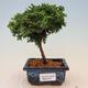 Outdoor-Bonsai - Ulmus parvifolia SAIGEN - Kleinblättrige Ulme - 1/5