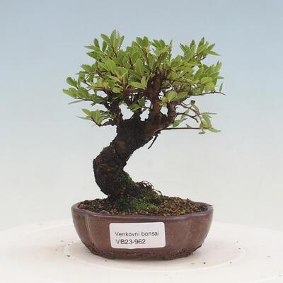 Outdoor-Bonsai - Ulmus parvifolia SAIGEN - Kleinblättrige Ulme - 1