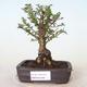 Outdoor-Bonsai - Ulmus parvifolia SAIGEN - Kleinblättrige Ulme - 1/7