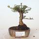 Outdoor-Bonsai - Ulmus parvifolia SAIGEN - Kleinblättrige Ulme - 1/3