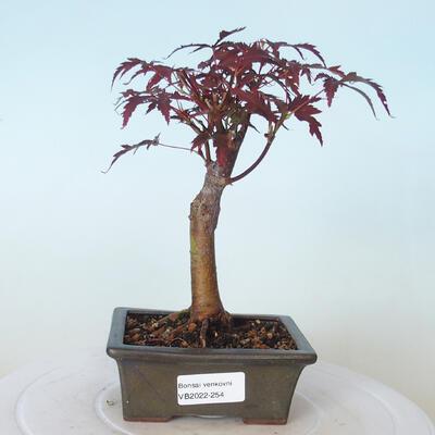 Outdoor-Bonsai - Acer-Palme. Atropurpureum-Rotes Palmblatt - 1