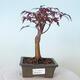 Outdoor-Bonsai - Acer-Palme. Atropurpureum-Rotes Palmblatt - 1/6