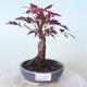 Outdoor-Bonsai - Acer-Palme. Atropurpureum-Rotes Palmblatt - 1/5